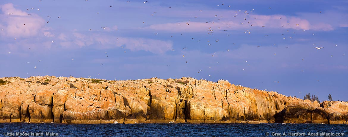 Nesting birds on the granite cliffs of Little Moose Island