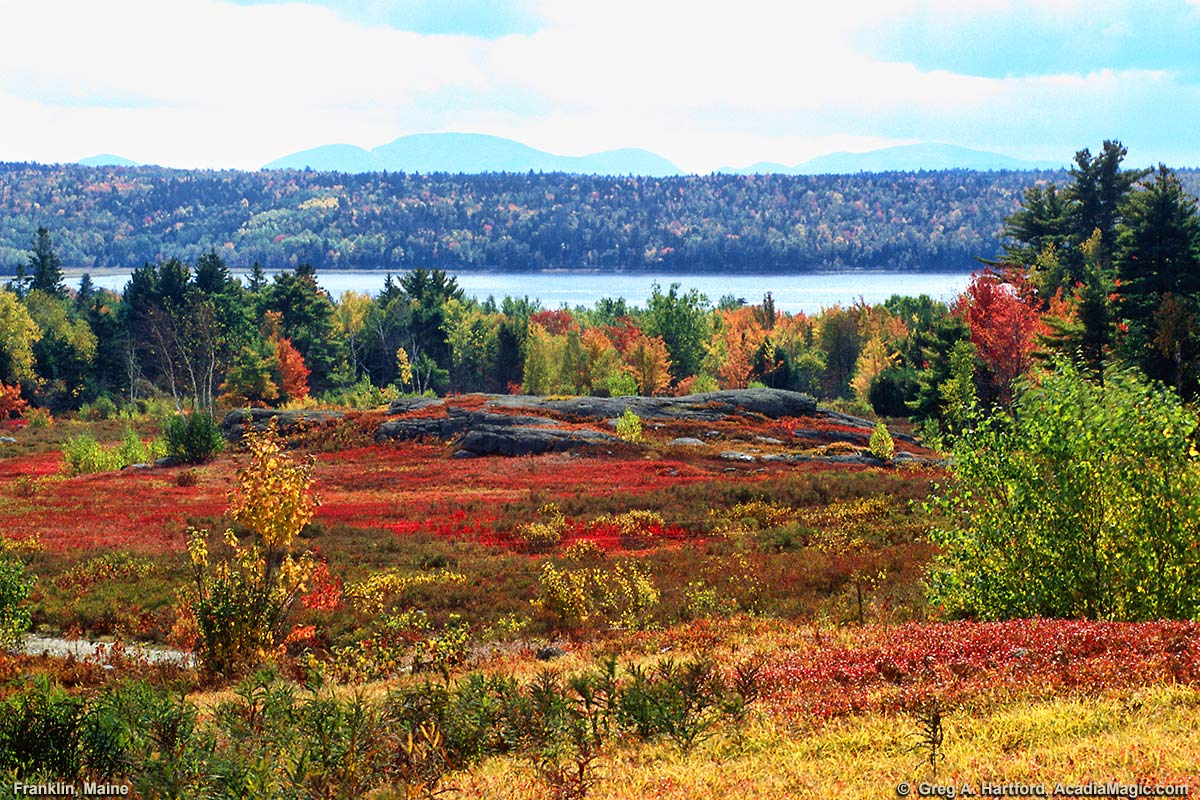 Autumn blueberry fields in Franklin, Maine overlooking Hog Bay and Cadillac Mountain