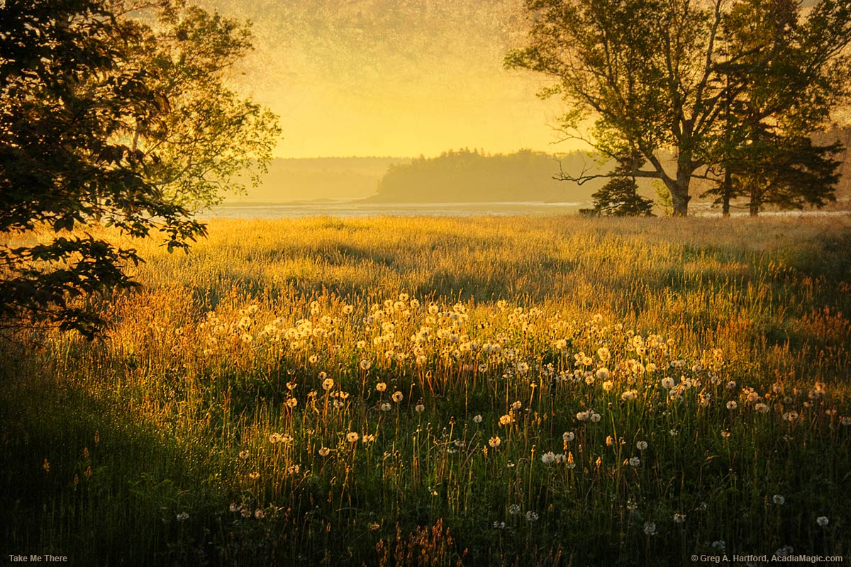 Field of dandelions at sunrise in Acadia National Park