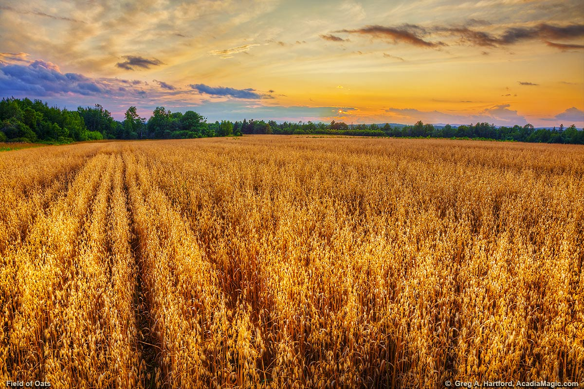 Sunset over a field of Oats in Central Maine