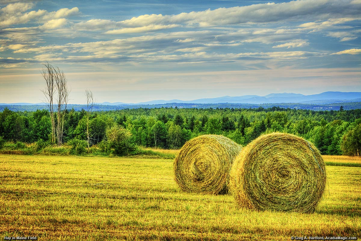 Bales of hay in a field in central Maine
