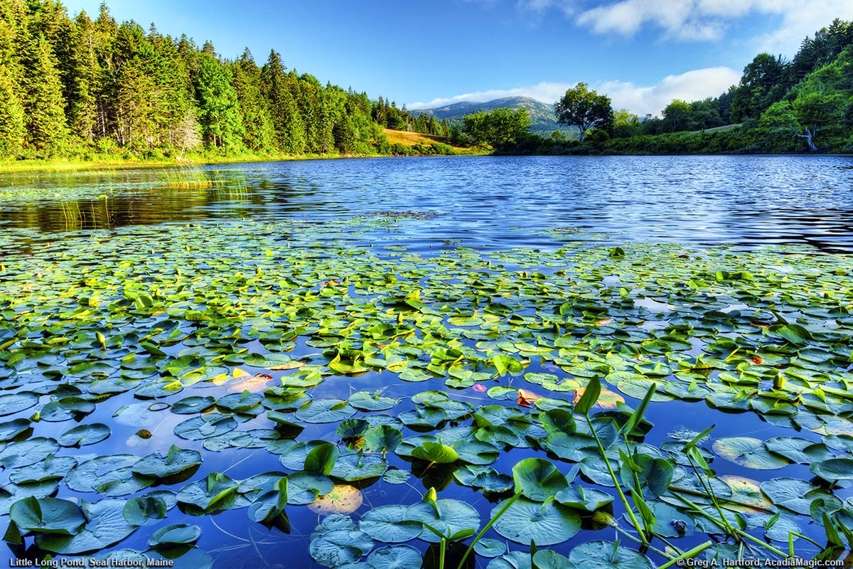 Lily Pads at Long Pond in Seal Harbor, Maine