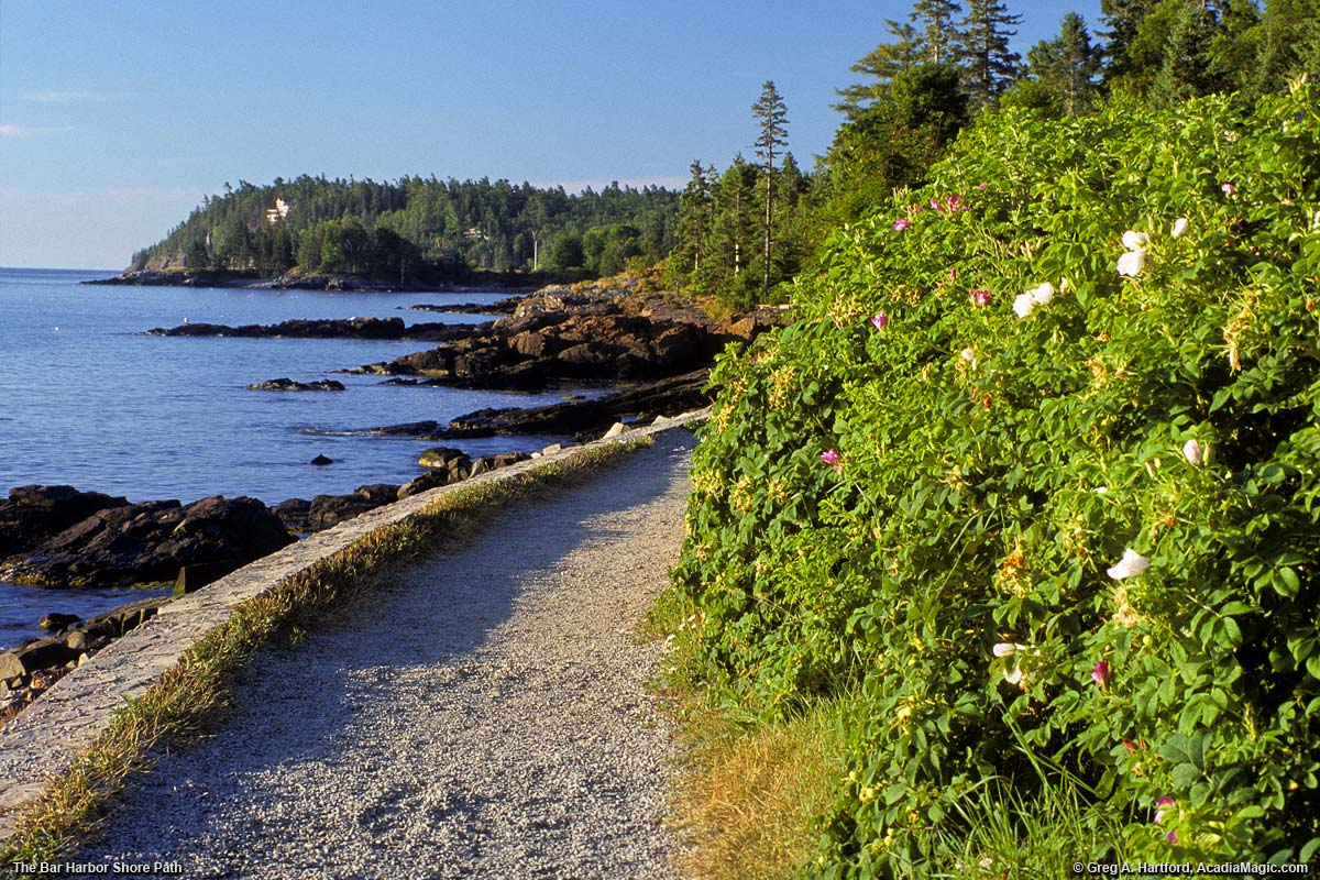 Wild Roses next to Bar Harbor Shore Path