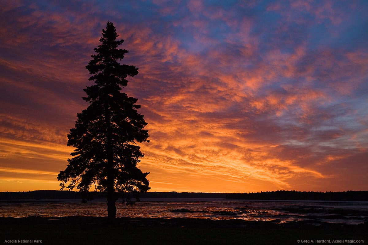 Tree silhouette at sunrise on Thompson Island in Acadia National Park