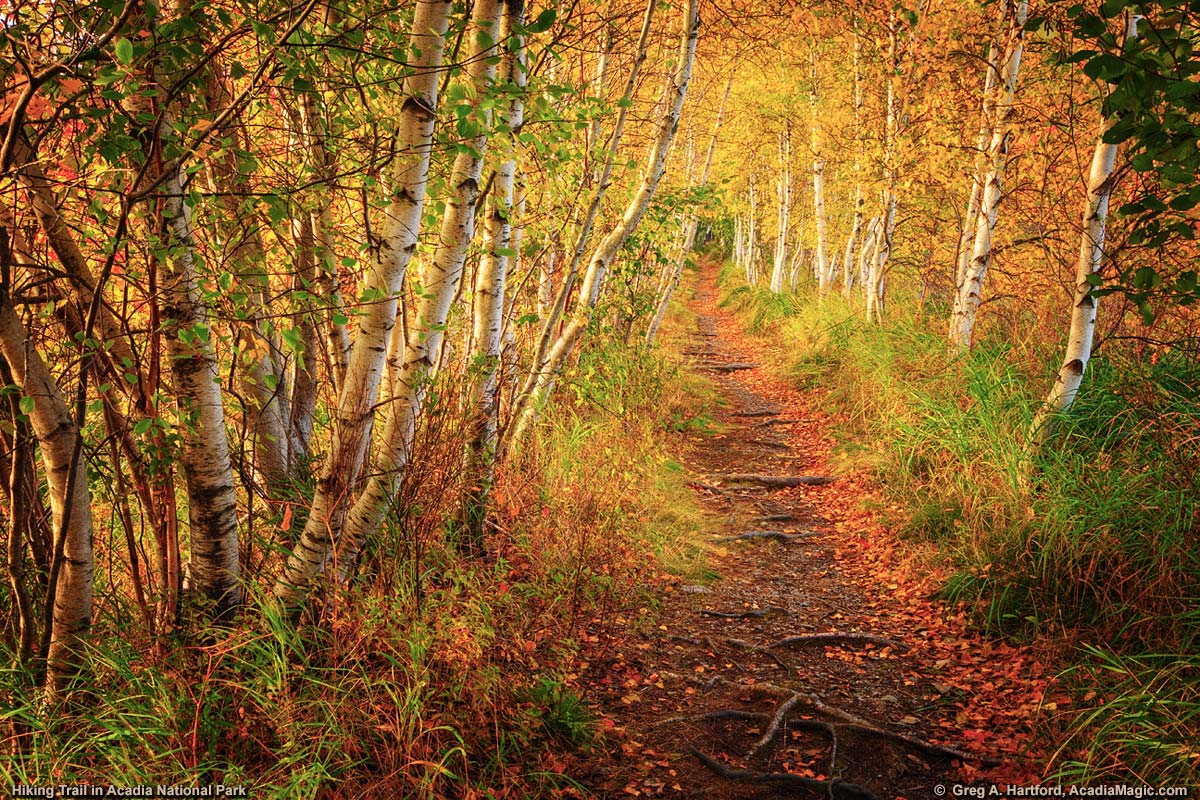 Jesup Path walking trail with White Birch Trees in Acadia National Park