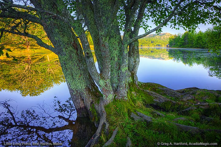 Tree at Long Pond in Seal Harbor, Maine