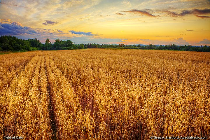 A field of oats at sunset