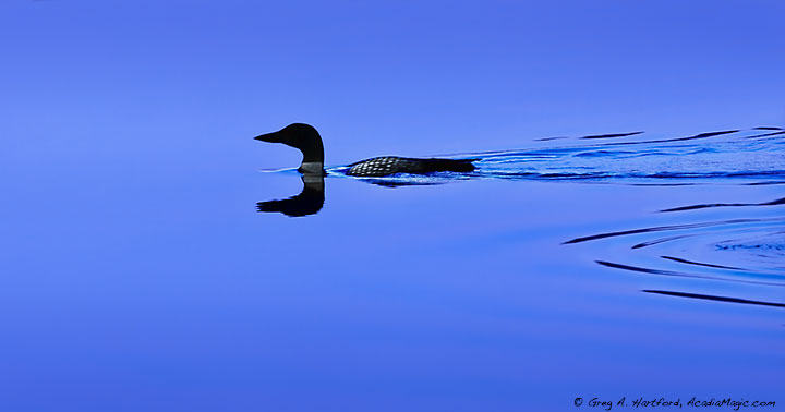 Loon on Somes Pond in Somesville, Maine