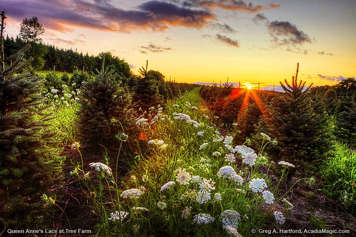 Queen Anne's Lace at sunset in central Maine
