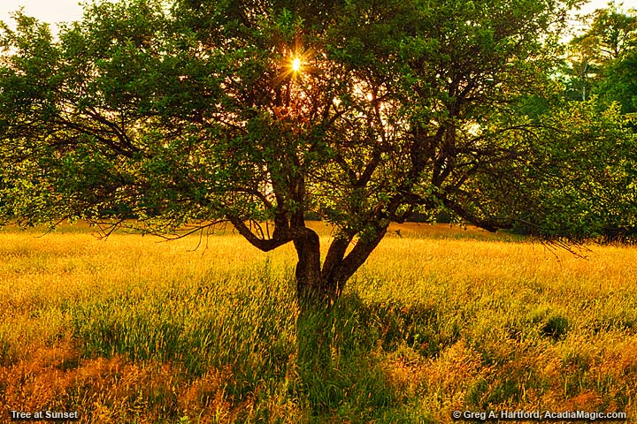 A golden tree at sunset in a field of grass