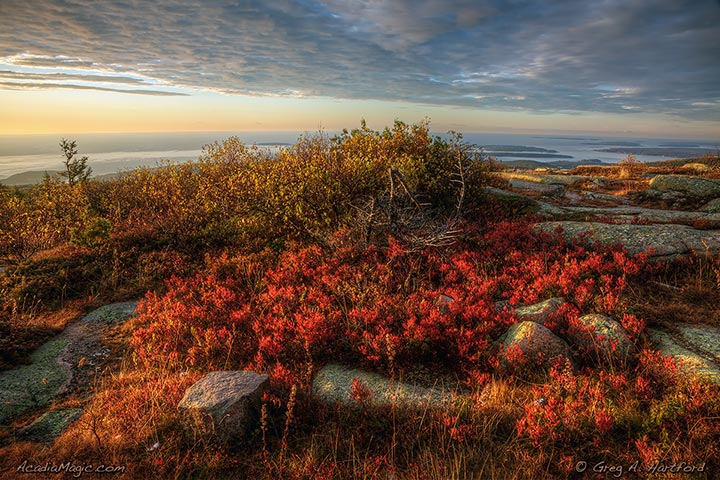 Red autumn colors of wild blueberry plants on Cadillac Mountain