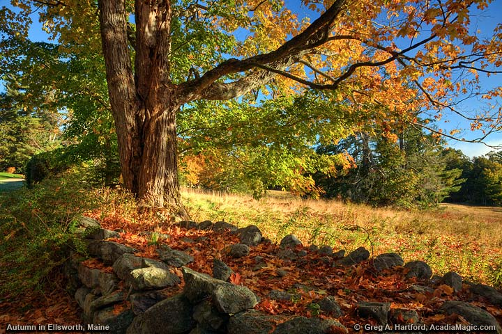 Maple tree and rock wall during peak autumn colors