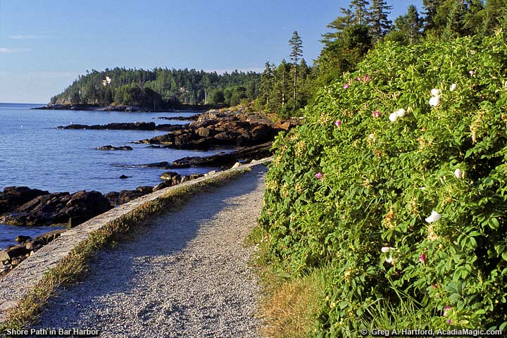 Wild Roses next to Shore Path in Bar Harbor